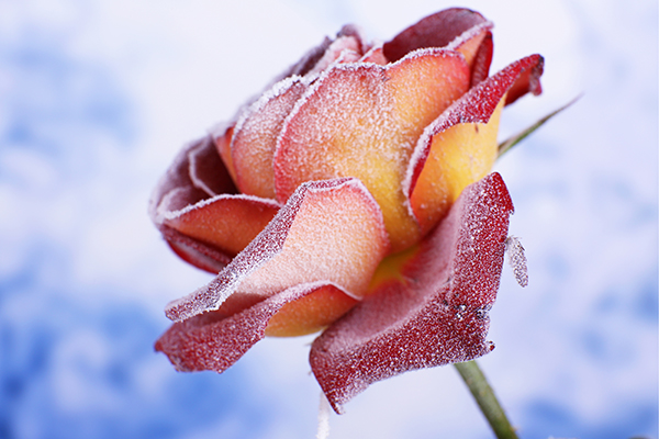 Frosted rose in winter