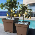 2 Brown Composite planters populated with Lemon trees