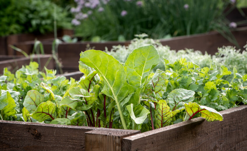 vegetables growing on a planter box